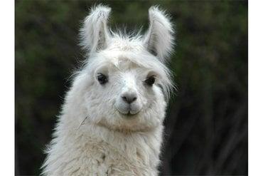 Lama- und Alpaka: Präsentation der Tiere und Wollverarbeitung