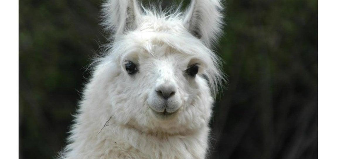 Lama e Alpaca: presentazione degli animali e dell'elaborazione della lana