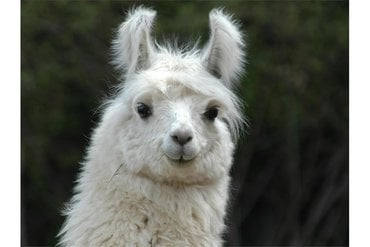 Lama and alpaca: Prasentation of the animals and the wool production